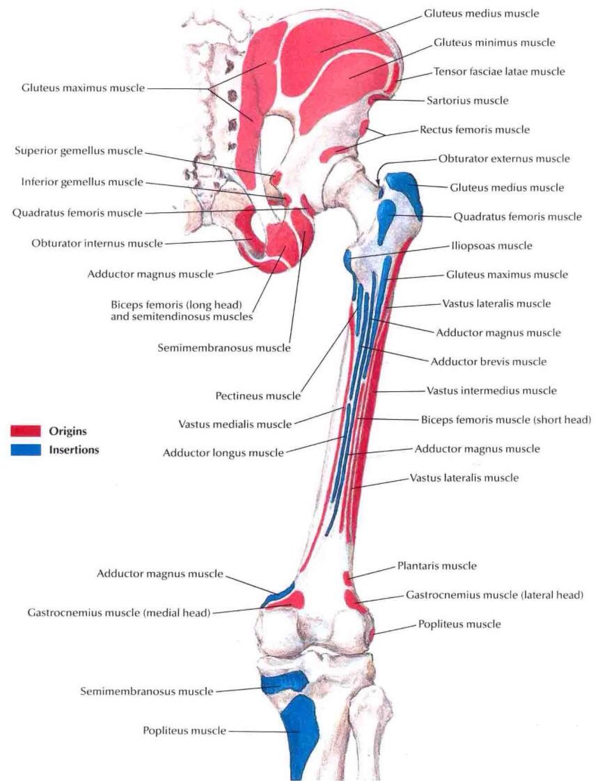 Muscle insertions and origins of the posterior aspect of the thigh ...