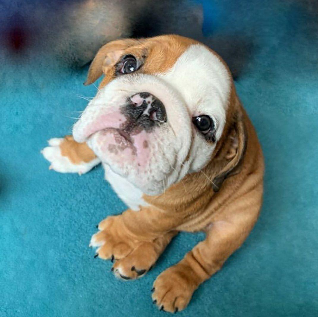 Bulldog Pics On Instagram Rocco Katiebradley97