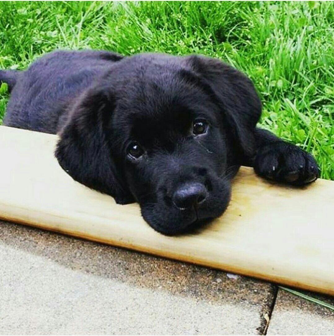 Black Lab Puppy Labradorretriever Mit Bildern Hunde Susse Tiere Babytiere