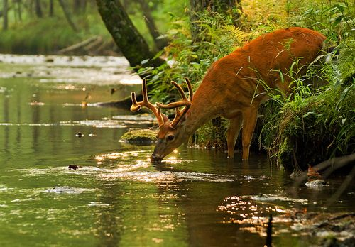 """""""As the deer panteth for the water, so my soul longeth after Thee…"""""""