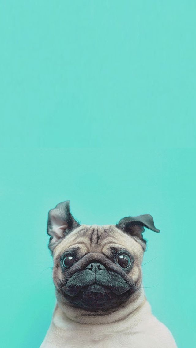 iPhone and Android Wallpapers Cute Pug Wallpaper for