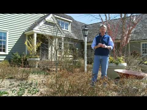 How To Prune A Drift Groundcover Rose Extended Version Youtube Ground Cover Roses Drift Roses Landscape Maintenance