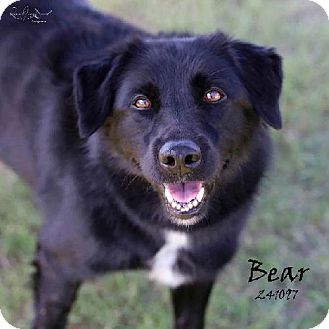 Conroe Tx German Shepherd Dog Border Collie Mix Meet Bear A