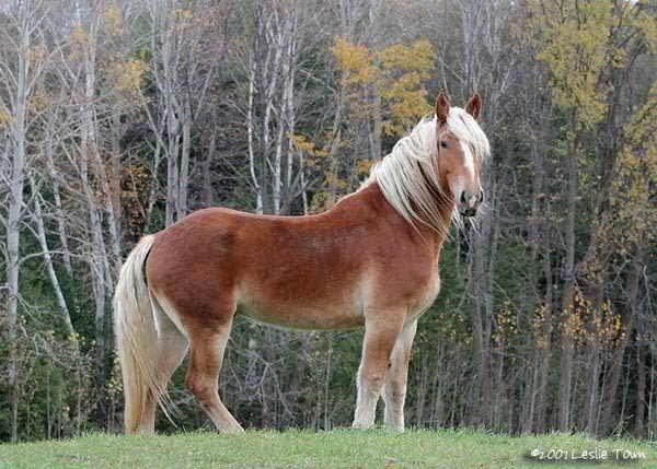 Belgian Looks Just Like My Theo Belgian Horse