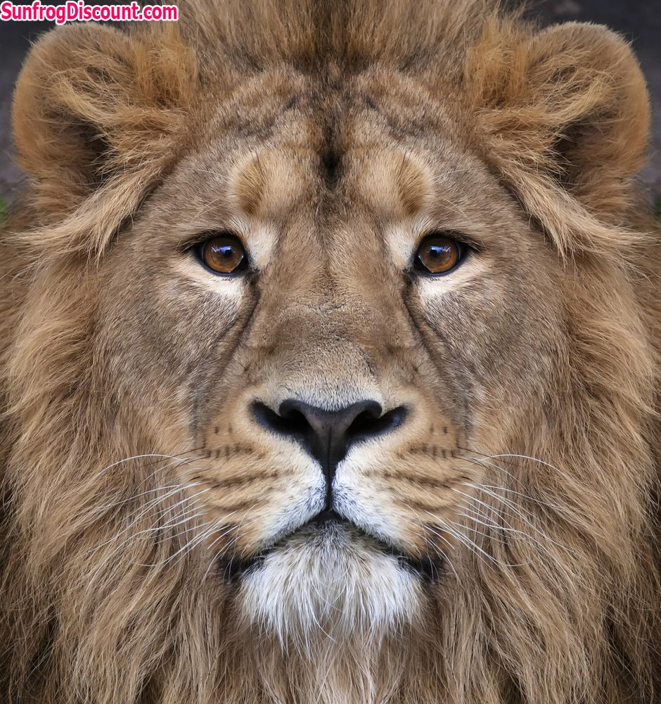 Tag Someone Who Would Love This Lion ! Follow for more. #lion ...