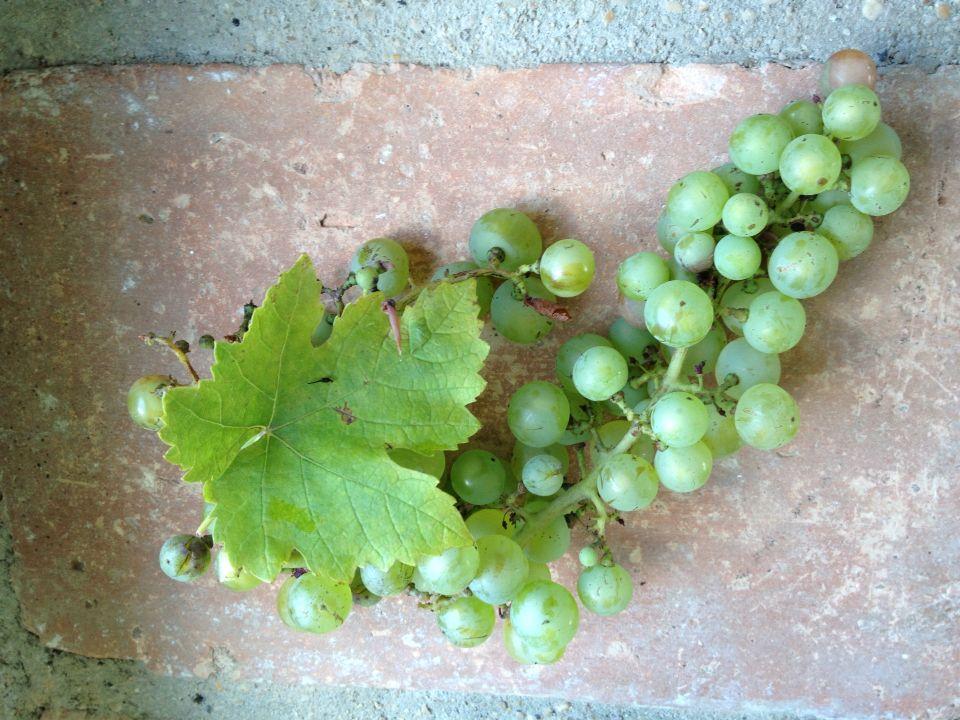 Oogst voor de druivengelei