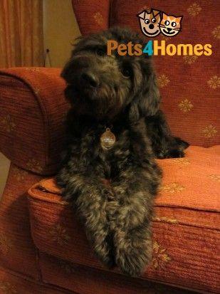 Adorably Cute Cyprus Poodle Pups For Sale Saffron Walden Essex