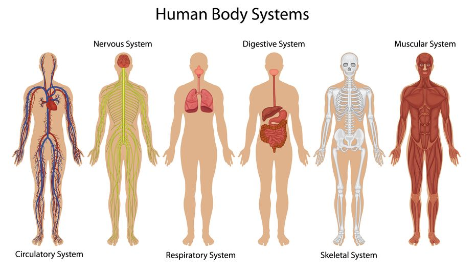 Human Body System Diagram Health Picture Reference Fifth Grade