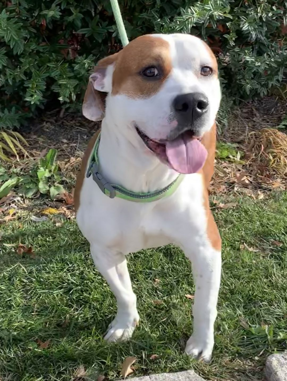 Adopt Chance On Pitbulls Terrier Mix Bull Terrier Mix