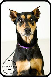 Minneapolis Mn Doberman Pinscher Meet Stevie Urgent Foster Needed A Dog For Adoption Http Www Adoptapet Dog Adoption Kitten Adoption Doberman Pinscher