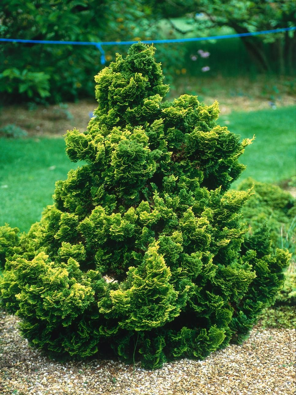 Branching Out A Guide To Conifers Hinoki Cypress Trees 400 x 300