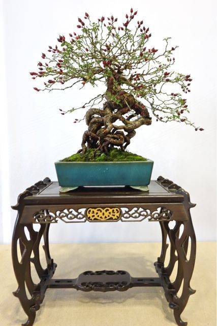 The 24th Seijyuten 2014. Unusual tree to see at a professional Japanese bonsai show