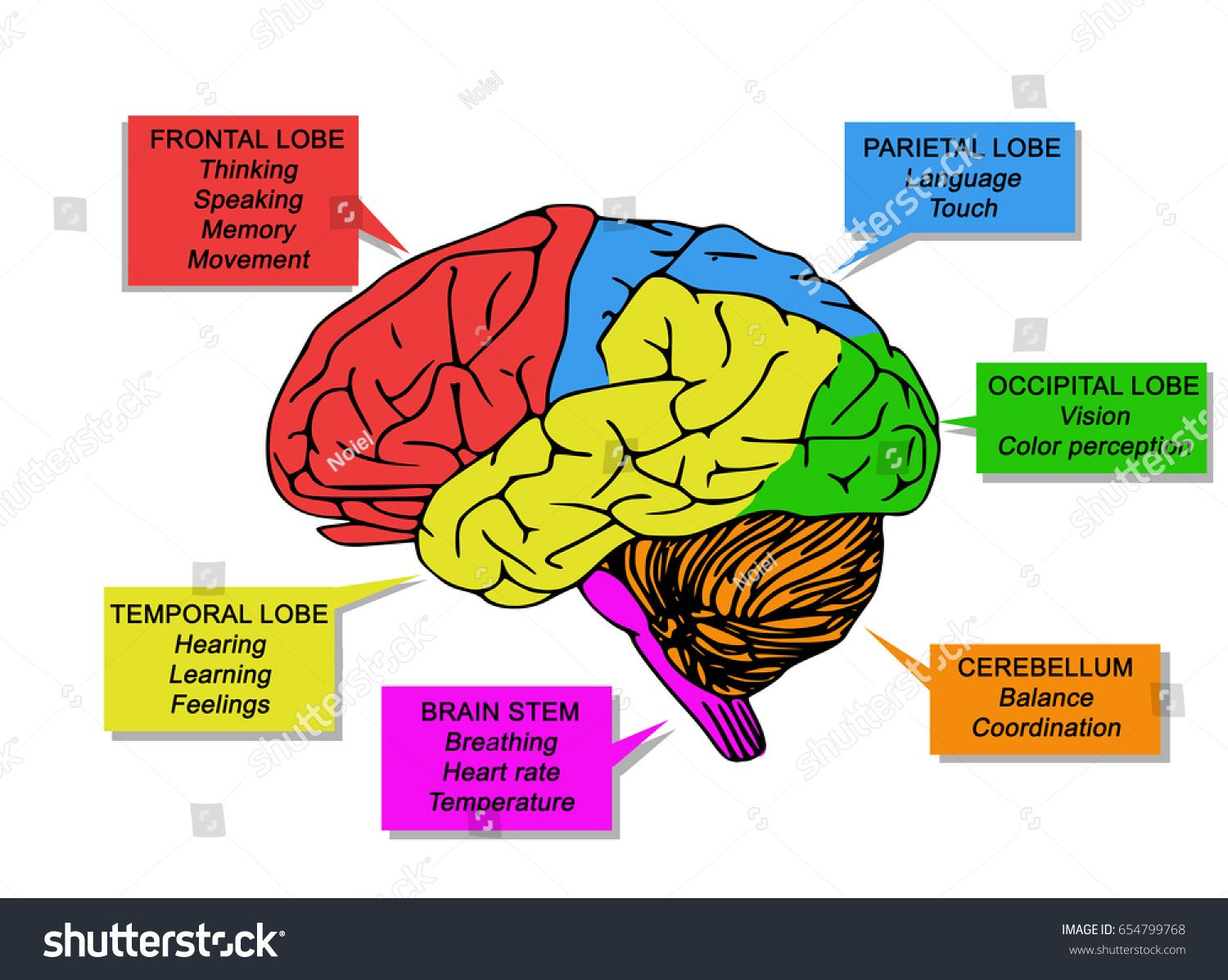 The Human Brain Diagram And Functions Koibana Info Human Brain Parts Brain Parts Brain Parts And Functions