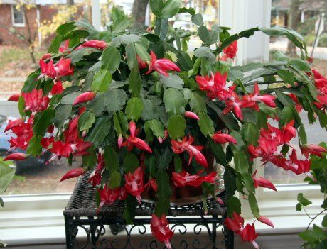 Forget the poinsettia; make room for a Christmas Cactus ...