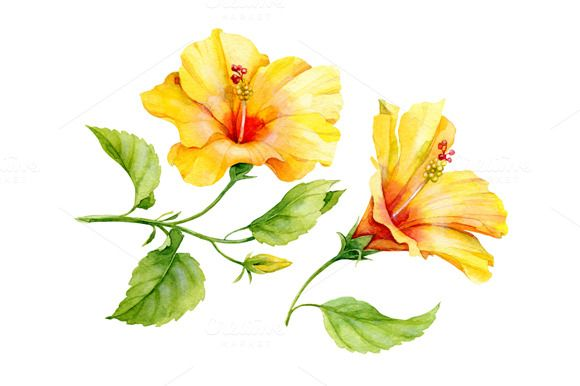 1411327017376 Watercolor Yellow Hibiscus Hibiscus Drawing