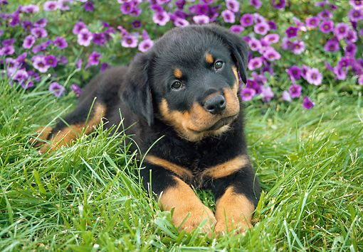 rottweiler puppy with flowers