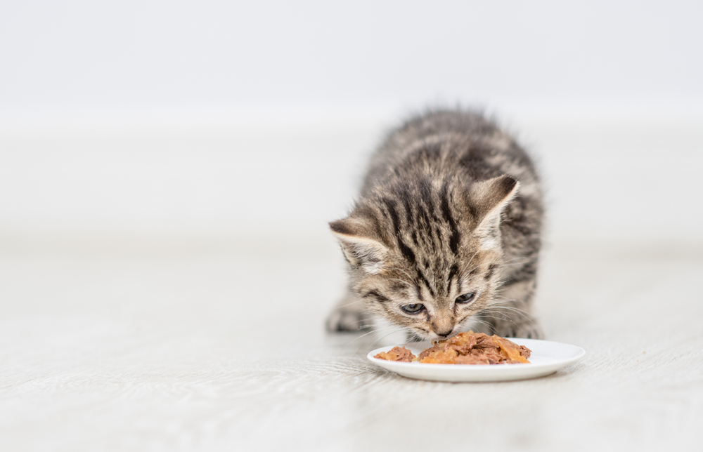 Kitten Eating Food Plate Home Empty Plate Eating Food Empty