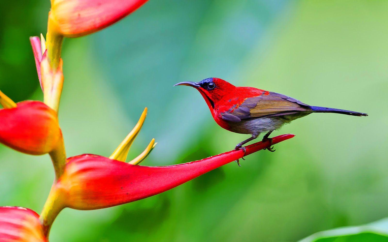 Crimson Sunbird-Singapore National Bird | Birds | Birds ...