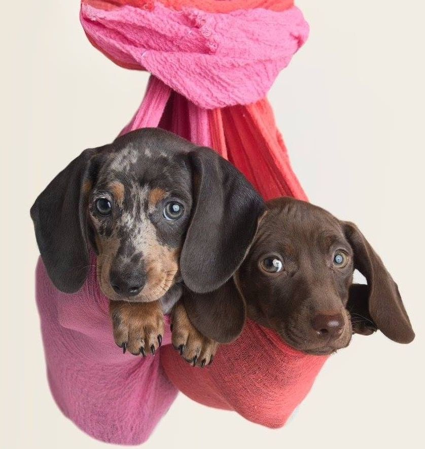 Pin by Teresa Petronio on gatti e gattini Dachshund love