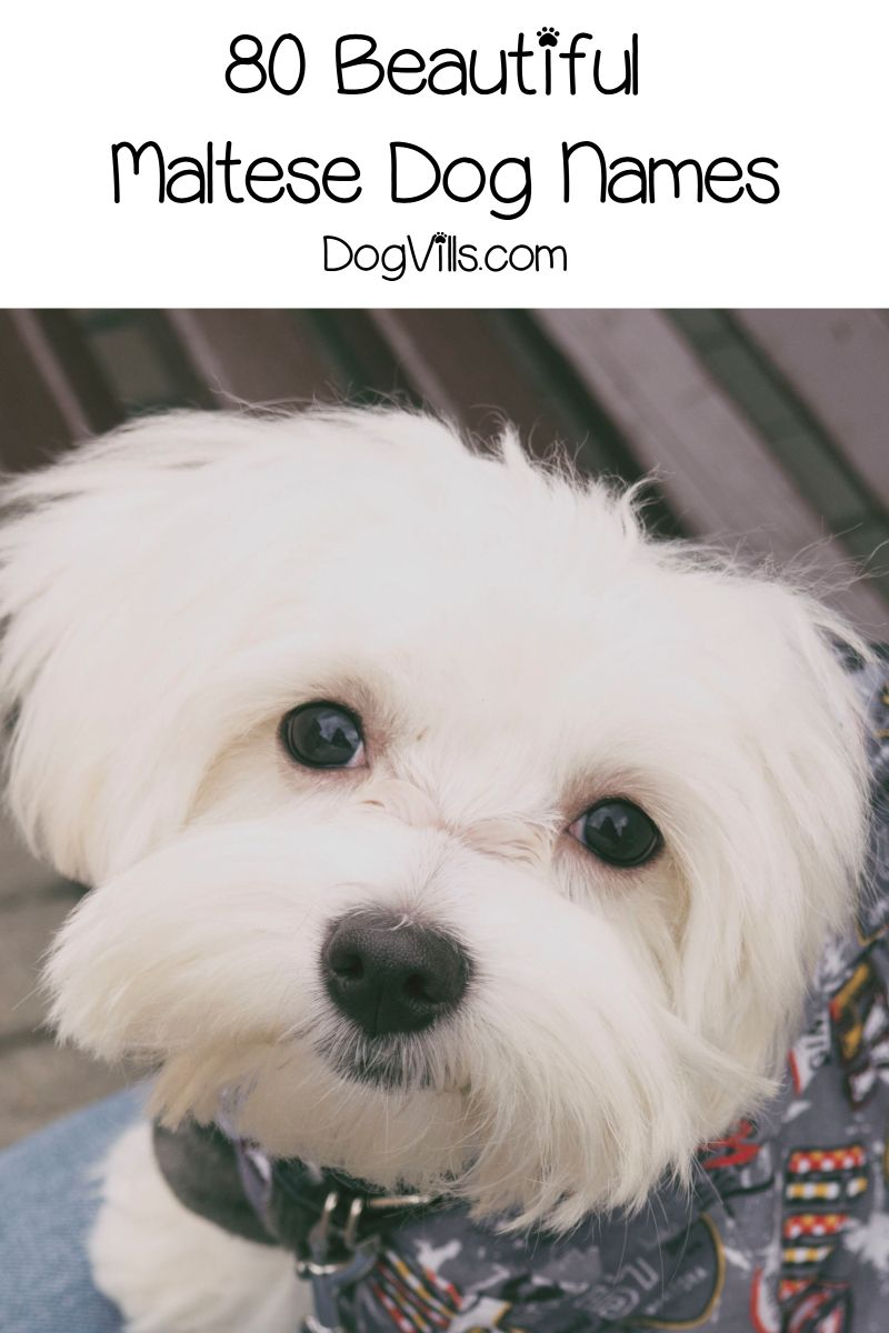 80 Beautiful Maltese Dog Names For Your New Pup Dog Breeds Dog