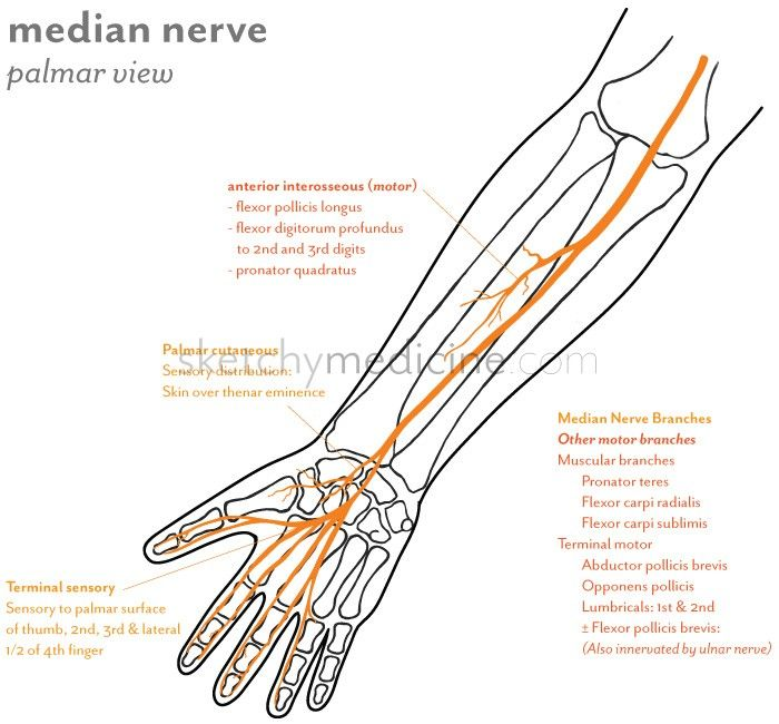 The median nerve provides sensory and motor innervation to the ...