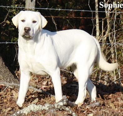White Labrador Retriever Female Puppies For Sale Available White