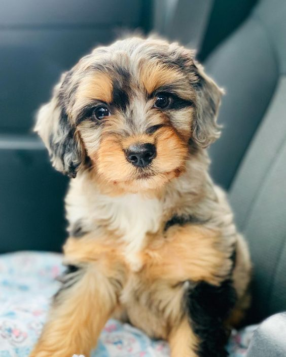 Miniature Aussiedoodle Dog Breed Info: Pictures, Traits & Temperament