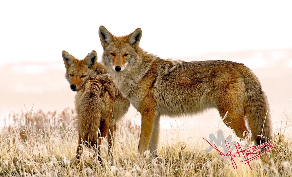 Utah Coyotes Coyote hunting, Hunting, Pictures