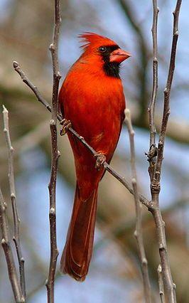 Mannetje C. c. cardinalis uit Noord-Carolina. Rode Kardinaal