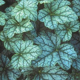 mint frost heuchera