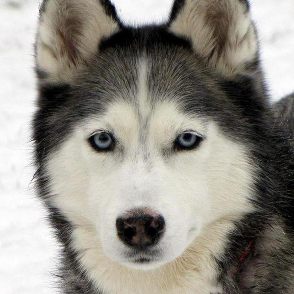 Gorgeous Siberian Husky Shiloh Via Gone To The Snow Dogs Snow