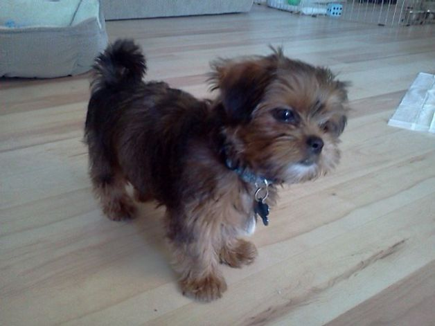 Yorkie Shih Tzu Mix With Images Shih Tzu Puppy Puppies And
