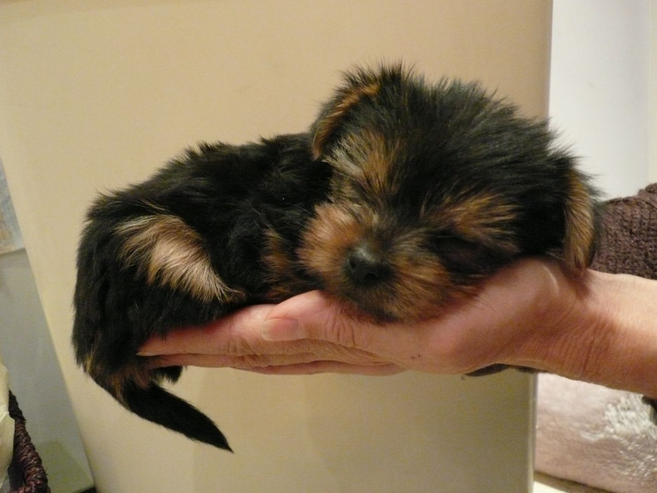 Coloring pages yorkie - Lovely Yorkie Pups