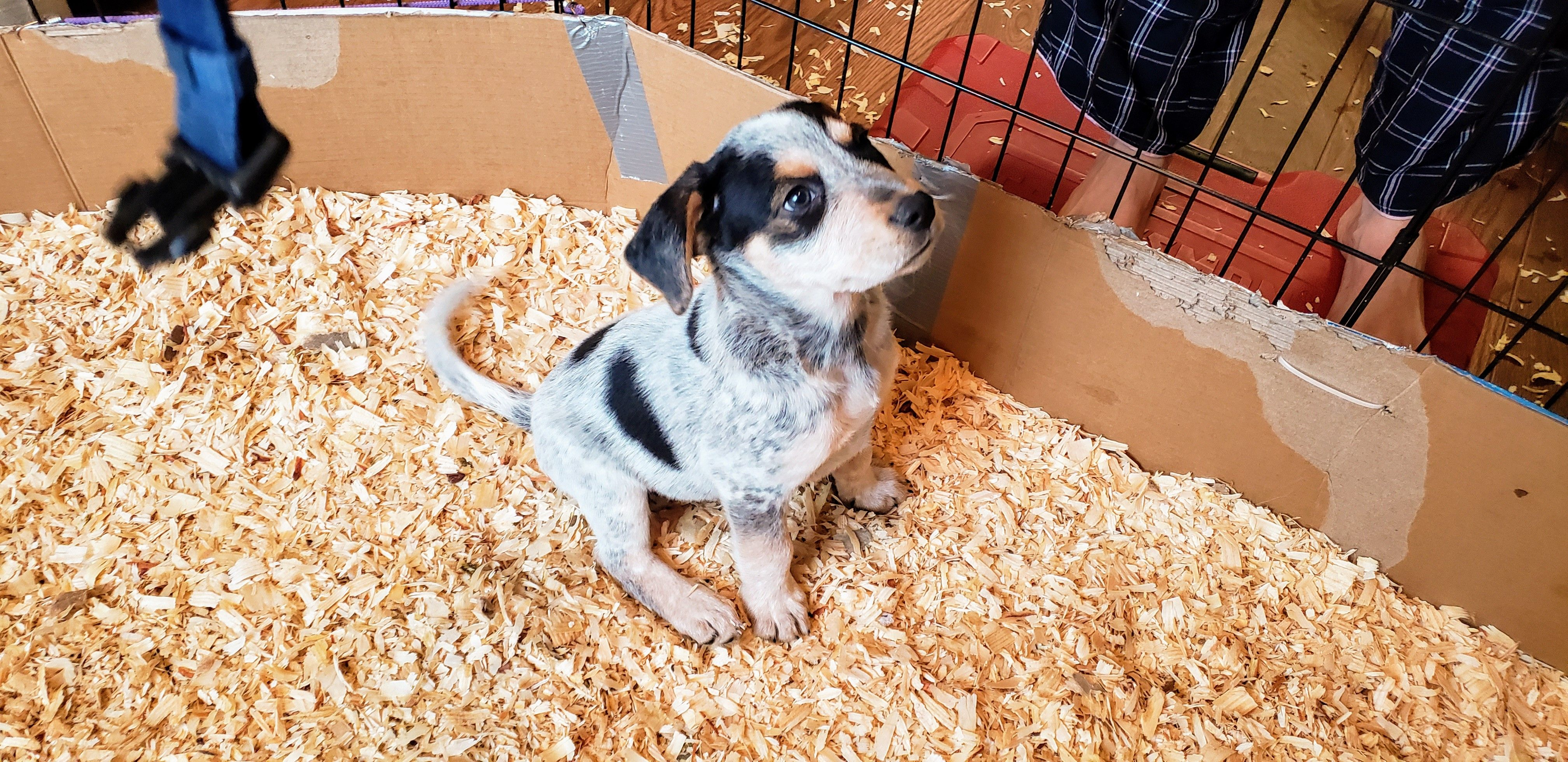 Teddy A Blue Heeler And Rottweiler Mix Puppy For Sale In Atlanta