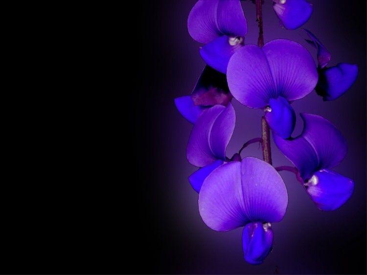 Fonds D Ecran Nature Fleurs Fleur Bleu Mauve Orchidee Bleue Fleurs Bleues Fond Ecran
