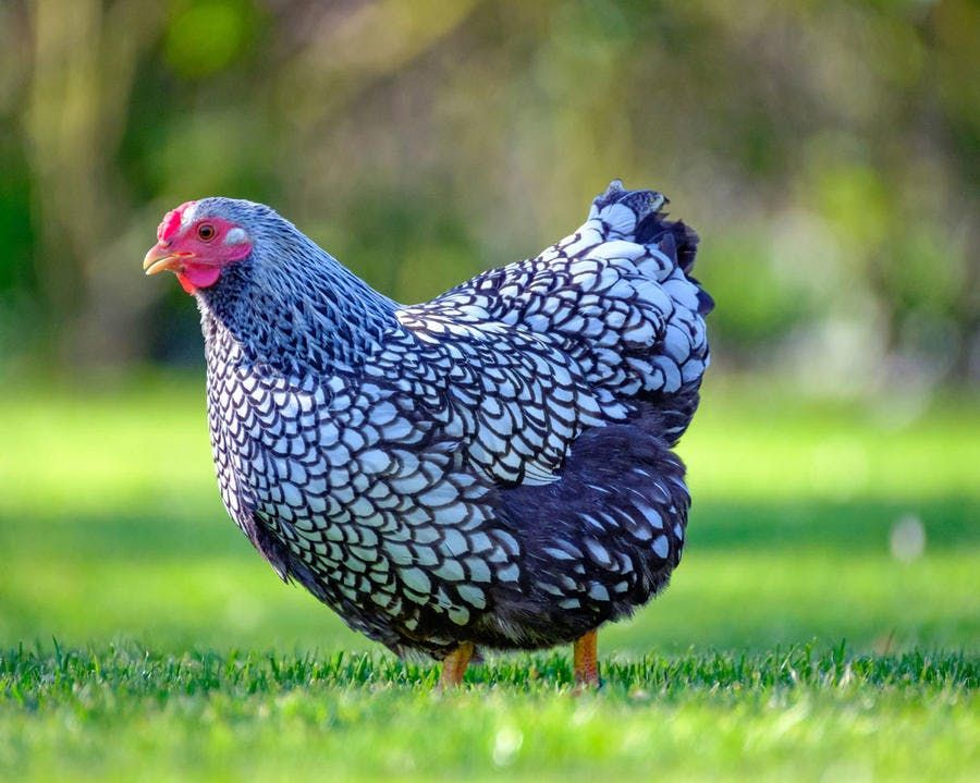 Des poules au jardin : 4 races faciles à adopter - Détente Jardin