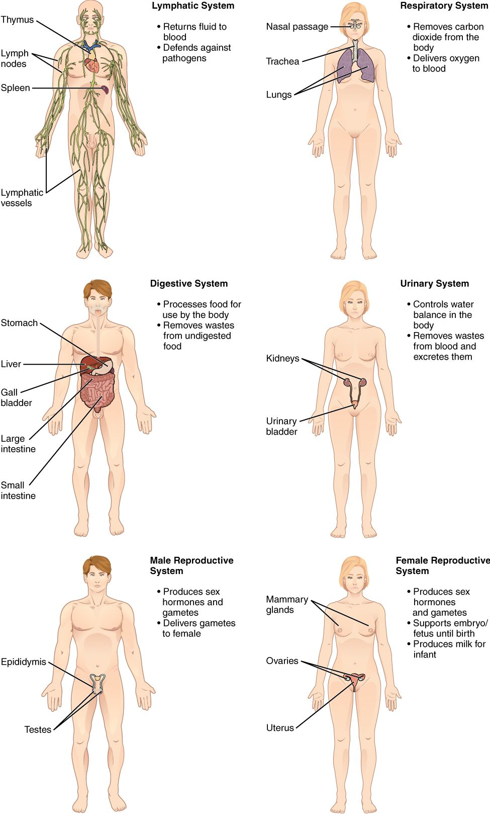 Organ systems of the human body II | Medicina | Pinterest | Aprender ...