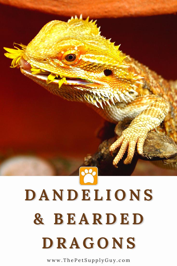 Bearded Dragon Dandelion In 2020 Bearded Dragon Bearded Dragon Care Reptile Care