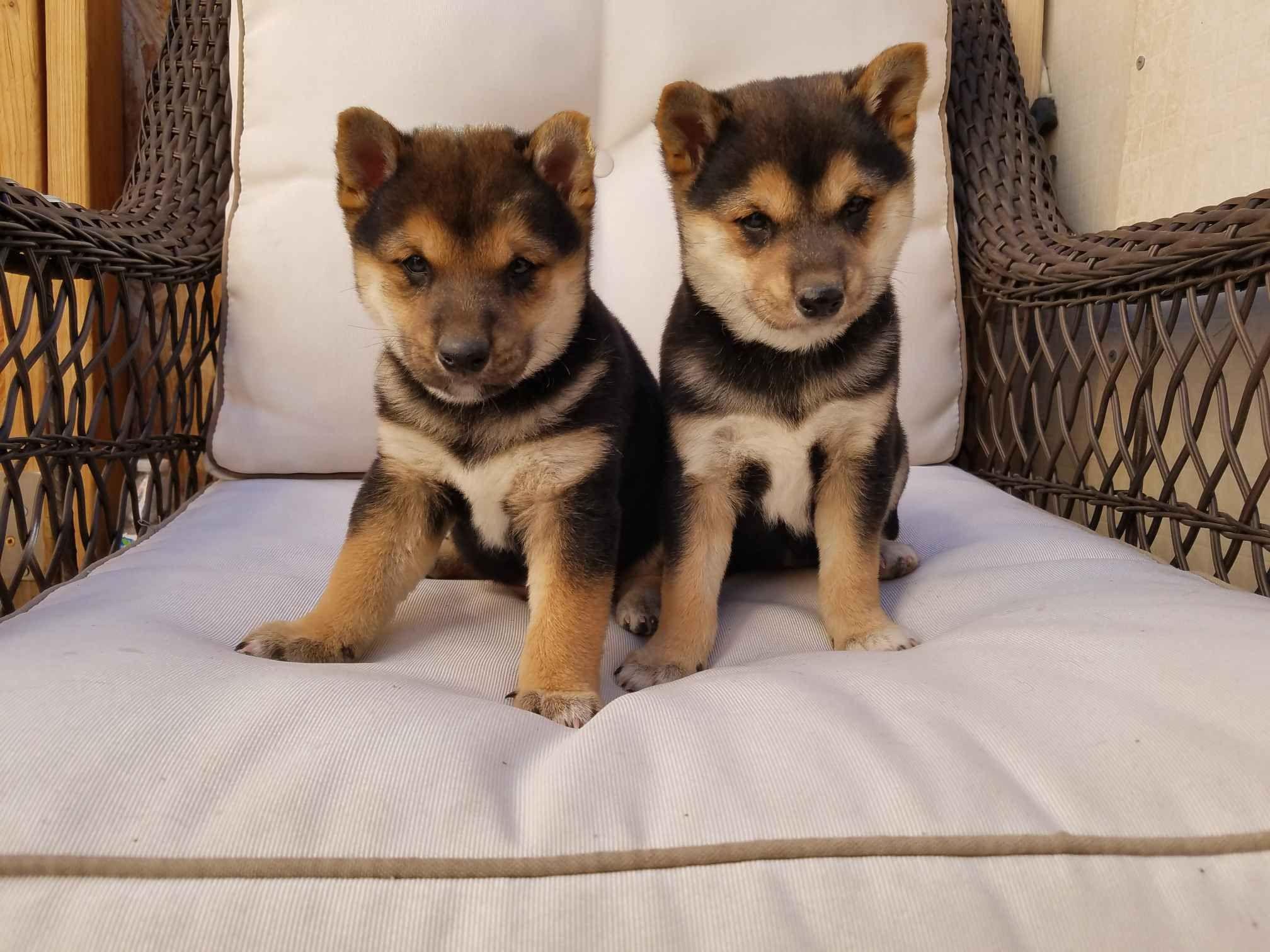 Tri Color Shiba Inu Puppies My Yogi On The Left Shiba Inu Shiba Inu Puppy Puppies
