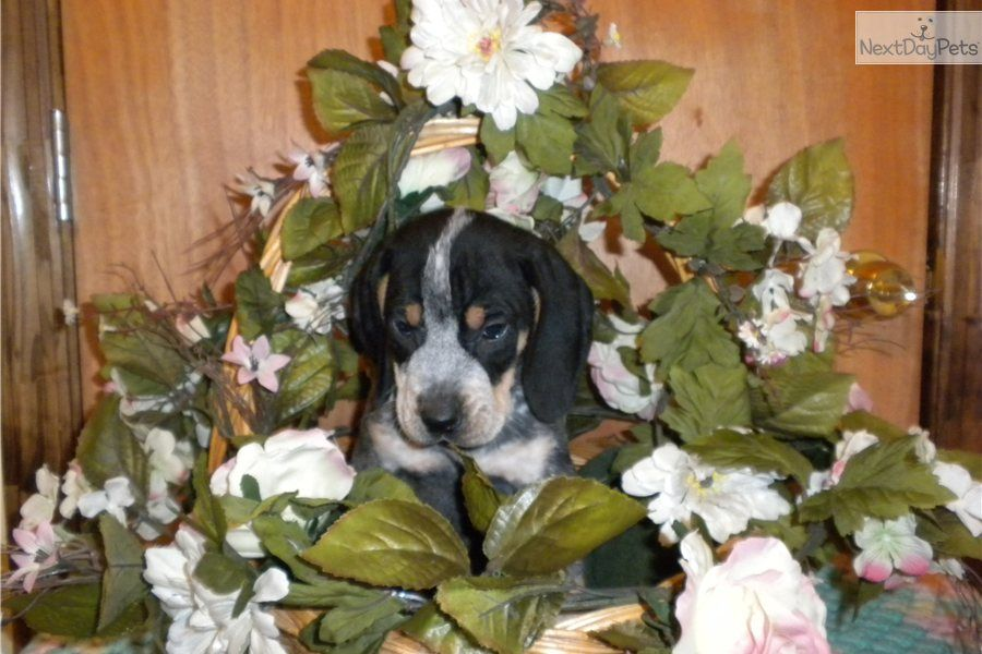 Trouble Bluetick Coonhound Puppy For Sale Near Augusta Georgia 1377dd51 2421 Bluetick Coonhound Coonhound Coonhound Puppy
