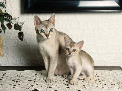 Petscollect Resources And Information This Website Is For Sale Singapura Cat Cat Breeds Pretty Cats