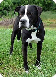American Staffordshire Terrier Boxer Mix Dog For Adoption In
