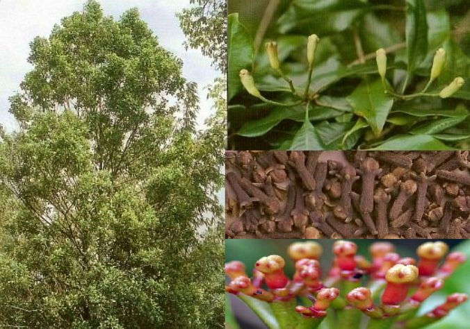 Image result for syzygium aromaticum