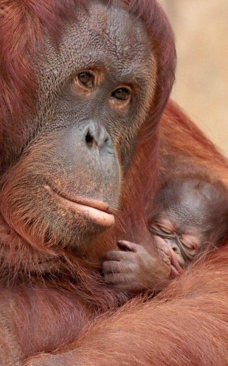 Esta orangutana acuna en sus brazos a su pequeña cría en el zoológico de Krefeld, Alemania (Caters News, 2017)