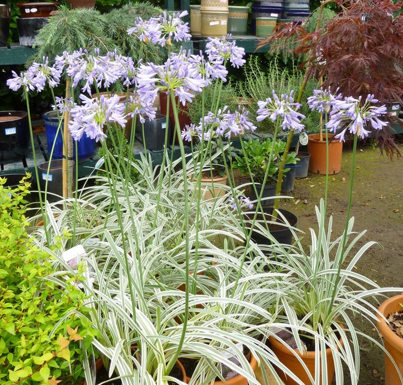 Agapanthus Silver Moon African Lily Agapanthus Perennial Plants