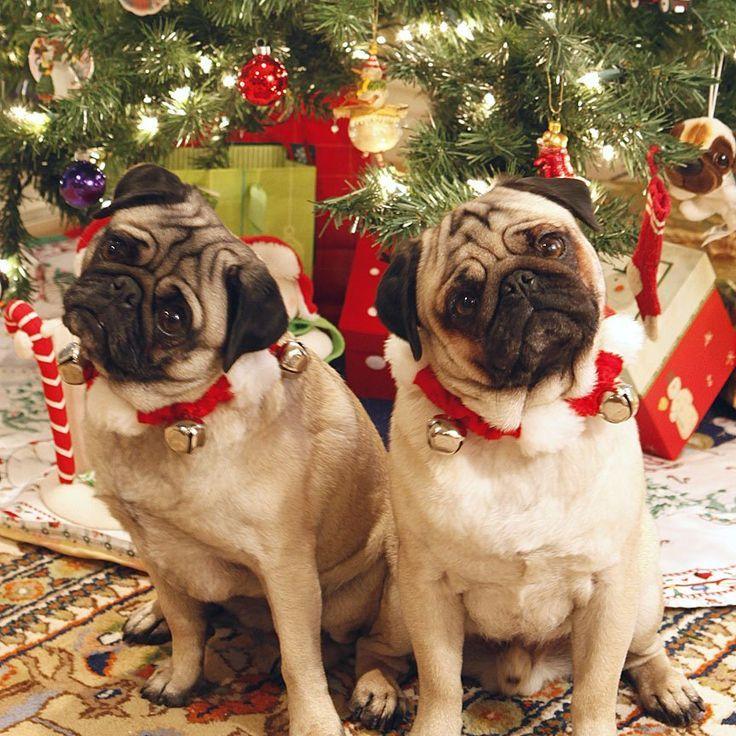 Christmas Pugs Pugs All Around Pinterest Christmas Dog Pug