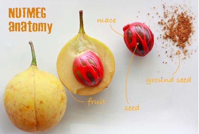 Nutmeg anatomy