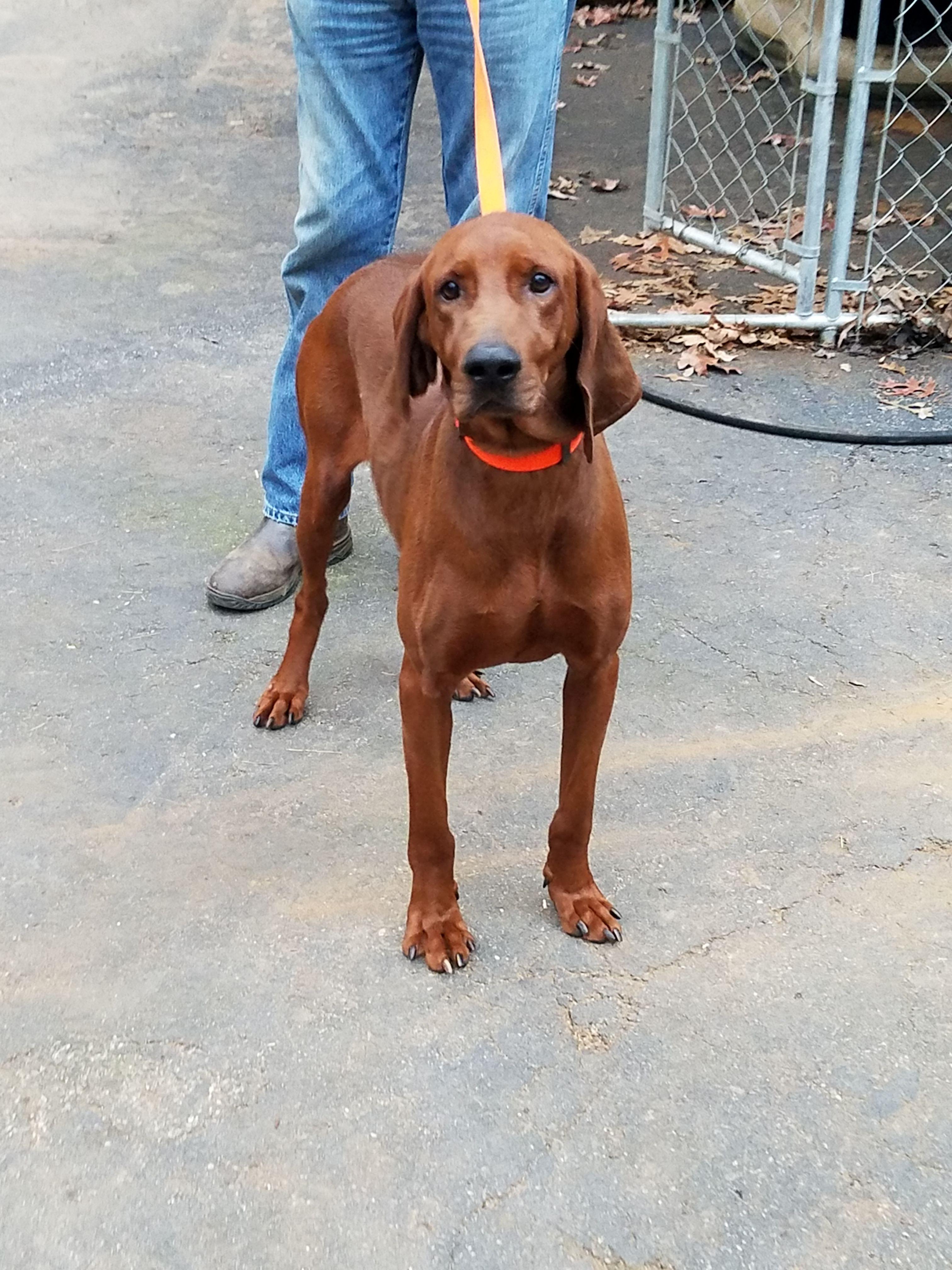 Redbone Coonhound dog for Adoption in Blairsville GA ADN