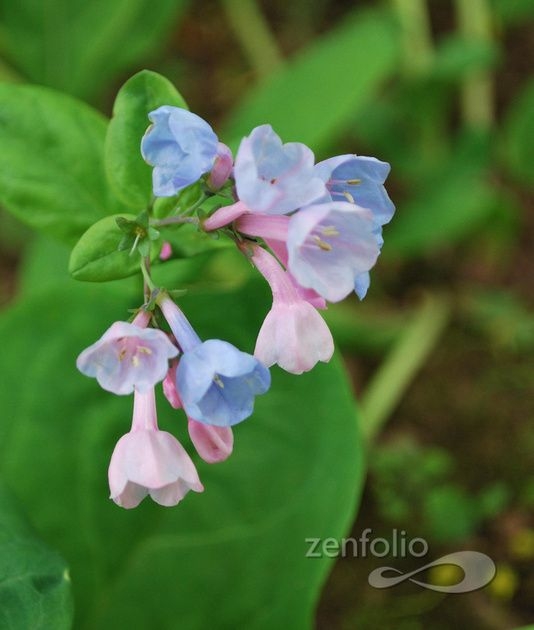 Virginia Blue Bells