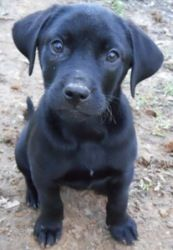 Memphis Is An Adoptable Black Labrador Retriever Dog In Killingworth Ct Meet Memphis Memphis Is A 14 Week Old Black Lab Puppies Lab Puppies Lab Mix Puppies